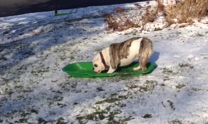 Dog on a sled