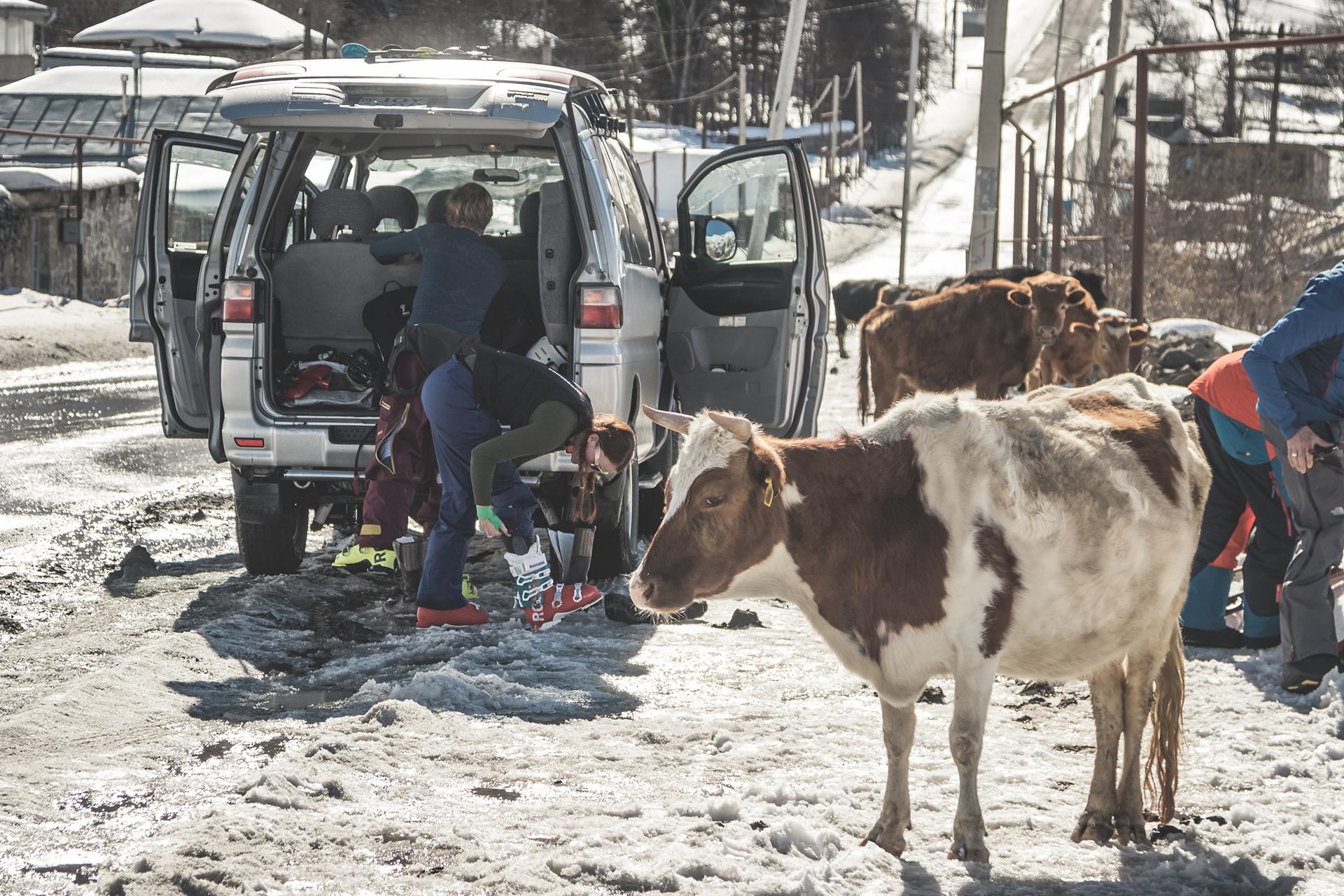 In Georgien findet man ein etwas anderes Landschaftsild im Tal. Die Kühe haben von Apré-Ski-Parties vermutlich noch nie etwas gehört - Foto: Klaus Listl