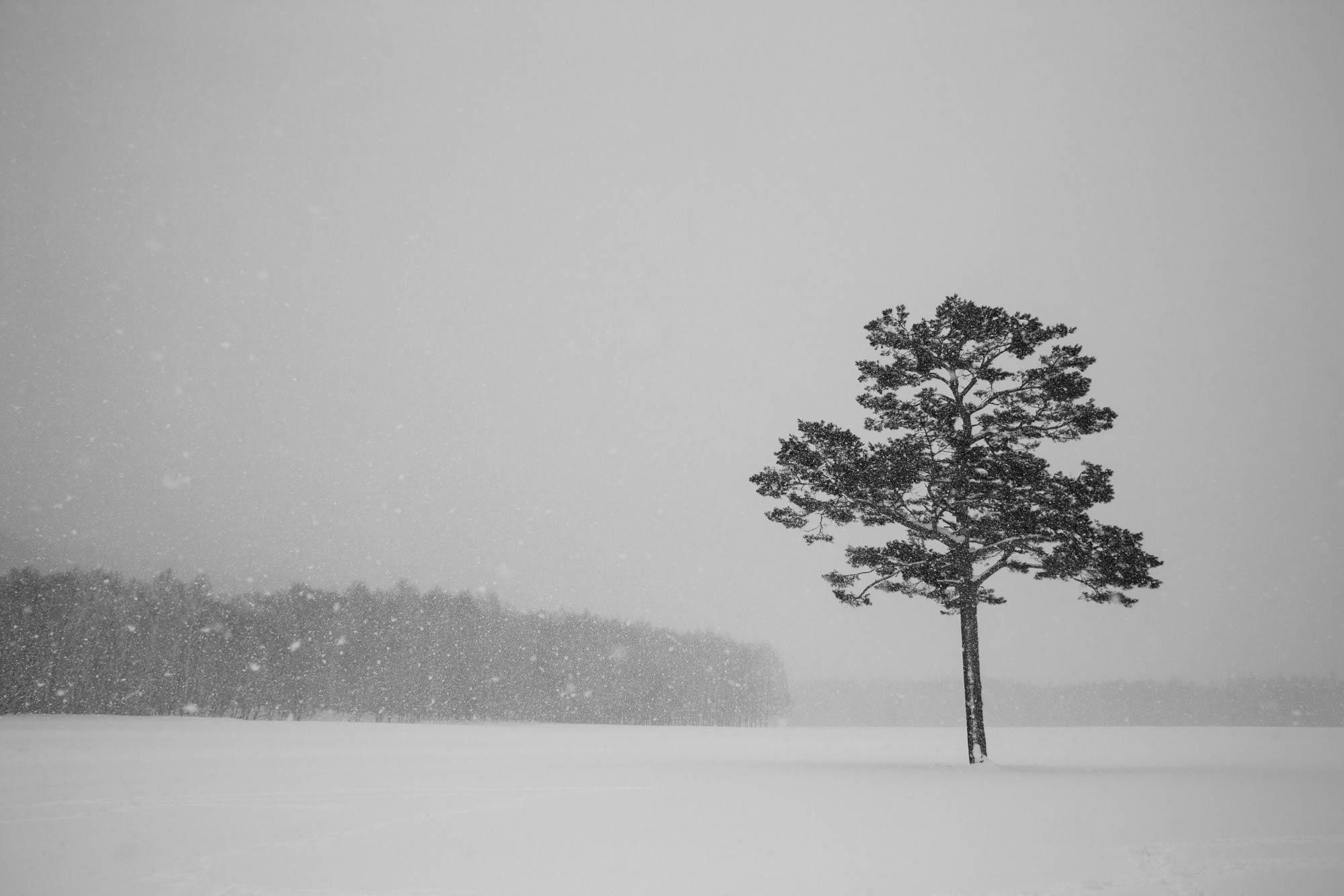 Shirakuba Tree
